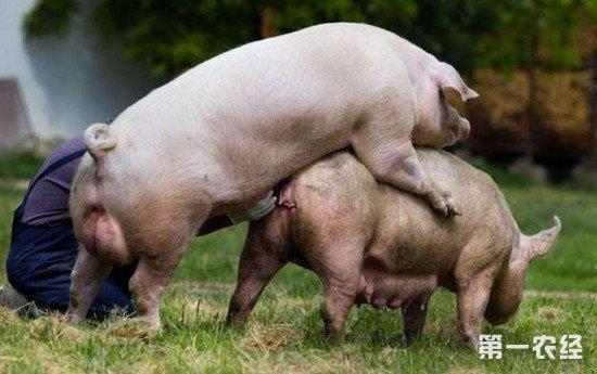 如何提高母猪配种成功率?掌握合适的配种时间很关键