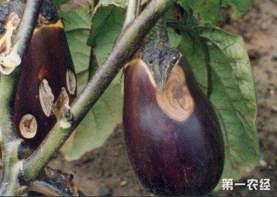 茄子茎上出现褐色病斑怎么办?茄子褐纹病的防治方法