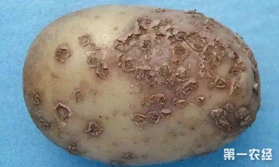 马铃薯上出现褐色小斑怎么办?马铃薯粉痂病的防治方法
