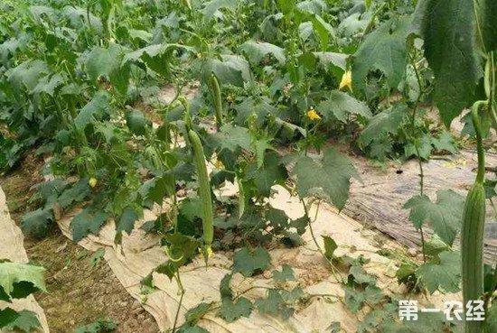 如何保证丝瓜的肥料充足?丝瓜高产施肥方法