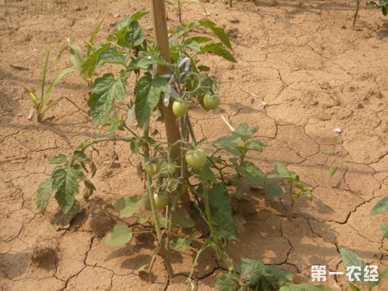 高温导致西红柿败秧怎么办?防止西红柿败秧的方法