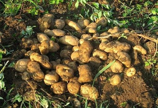 河南崇县顶宝石村3万斤土豆滞销 至今无销路