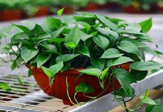 水培绿萝要怎么养?水培绿萝的澳门永利娱乐网址环境和注意事项
