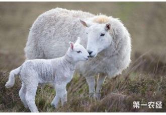 提高母羊产羔率的饲养管理要点