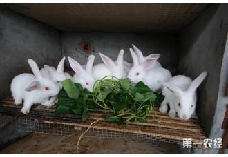 夏季预防兔子中暑的措施以及中暑后的救治方法