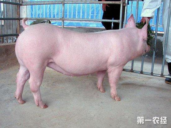 挑选后备母猪从哪些方面从手?后备母猪的挑选技巧
