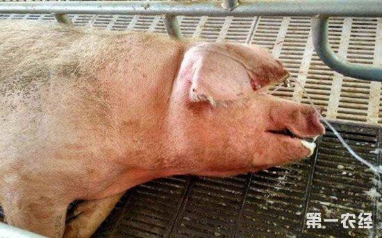 什么样的母猪应该淘汰掉?这些缺陷要不得
