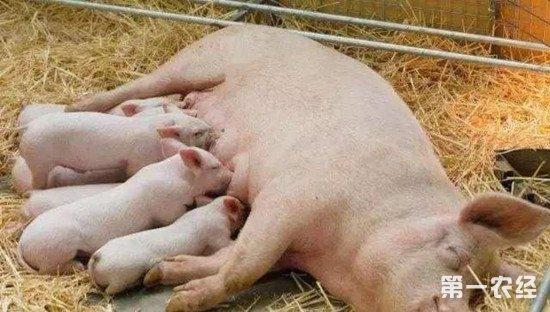 母猪分娩期到哺乳期的管理要点