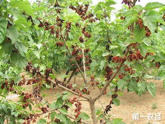 桑树怎么施肥才能长得好?桑树四季施肥方法