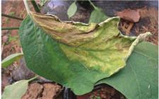 茄子半边叶片发黄卷曲怎么办?茄子黄萎病的防治方法
