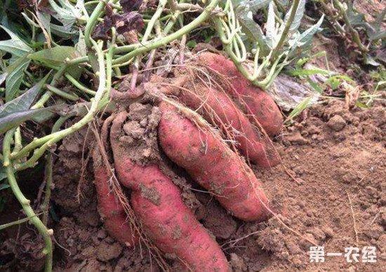 红薯怎么施肥?红薯的需肥特点介绍
