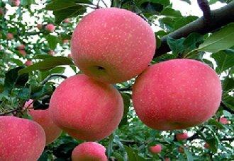 """优质晚熟苹果新品种""""瑞阳""""""""瑞雪""""通过国家审定拥有自主权"""