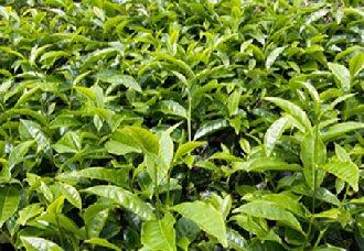 云南多举措加强古茶山、古茶树的资源保护