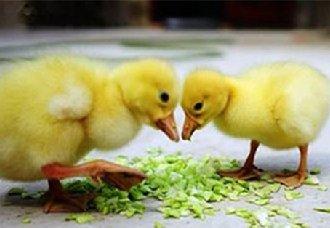 雏鹅要怎么养?雏鹅的养殖技术介绍