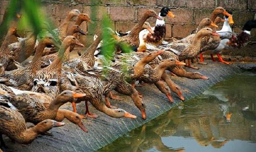 三穗鸭养殖要注意什么?养殖三穗鸭的注意事项