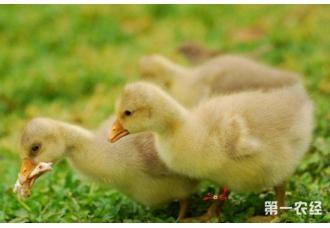 <b>雏鹅的饲料配方以及潮口开食的注意事项</b>