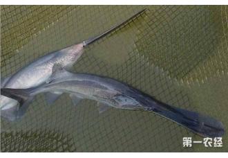 鸭嘴鱼要怎么养?鸭嘴鱼的饲养管理技术