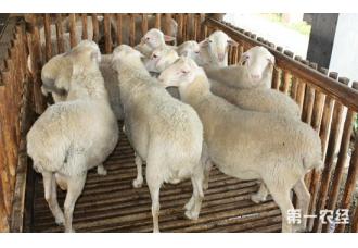 湖羊怎么进行育肥?湖羊的育肥技术