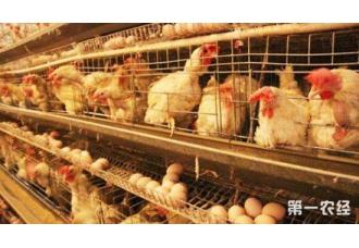 蛋鸡装笼要注意什么?笼养蛋鸡装笼的注意事项