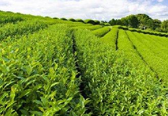 贵州贵阳将严厉打击茶产品生产和市场销售乱象行为