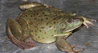 <b>牛蛙要怎么养?注意以下四点</b>