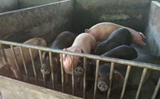 非洲猪瘟潜伏期有多长?它通过哪些方式进入猪场?