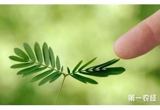 含羞草怎么种?含羞草的种植技术