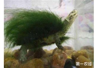 绿毛龟怎么培养?绿毛龟的培养技术