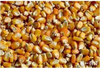 养鸡购买玉米饲料的注意事项