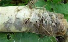萝卜变黑是什么病?萝卜黑根病的防治方法