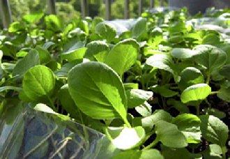 山东寿光成立国家蔬菜质量标准化创新联盟