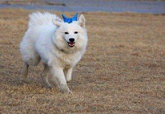日本狐狸犬一只多少钱?