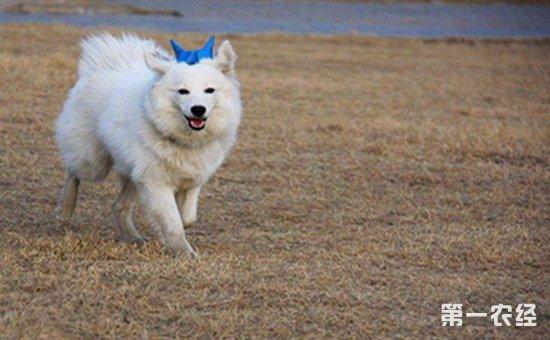 日本狐狸犬