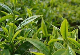 <b>湖北茶叶产业快读发展 茶叶产量达全国第三</b>