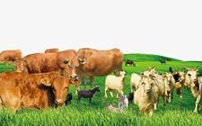 内蒙古锡林郭勒:正镶白旗积极推进现代畜牧业转型升级