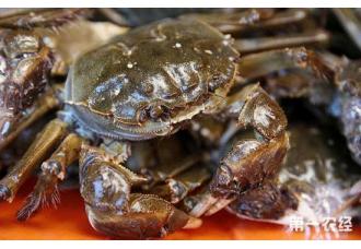 大闸蟹常见的病害以及治疗措施