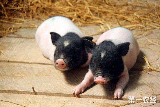 怎么减少香猪生病率?做好这些措施是关键