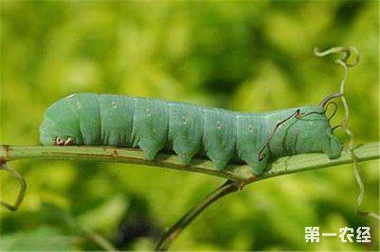 菜青虫危害大怎么办?菜青虫的四种防治方法