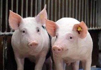 """<b>我国严厉和打击防范""""炒猪""""行为 保障生猪养殖业生产安全</b>"""