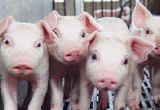 <b>非洲猪瘟疫情严峻 全球各地将进行合理防控</b>