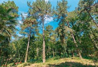 安徽将加强松材线虫病防治制度建设 保护松林资源