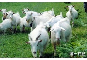 羊不反刍的原因以及治疗方法