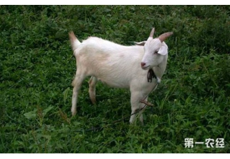 羔羊得了瘫软症要怎么办?羔羊瘫软症的防治方法