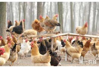 鸡舍要怎么降氨?鸡舍降氨的方法