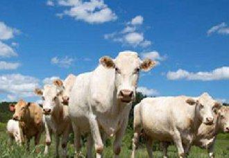 我国奶牛规模不断扩大 奶量质量也得到有力保证