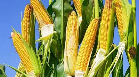 我国上半年农产品生产及市场运行均都保持平稳状态