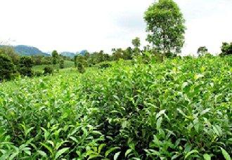 云南双江勐库古茶园与茶文化系统在农业文化遗产预备名单中