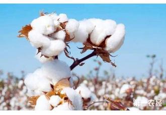 <b>新增多抗棉花新品种17个,重点解决了今年的棉花产量</b>
