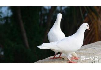 雏鸽毛滴虫病的症状以及防治措施