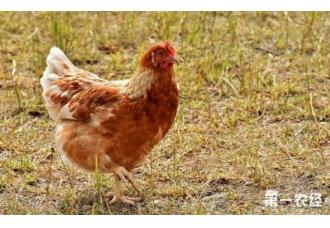 蛋鸡怎么补光?蛋鸡补光的注意事项
